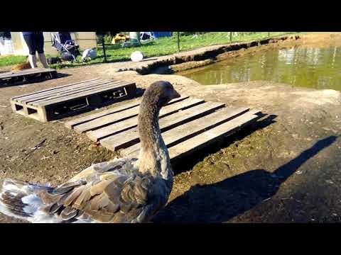 Вопрос: Что делают индюки, когда гуси- гогочут, утки- крякают, а куры квокчут?