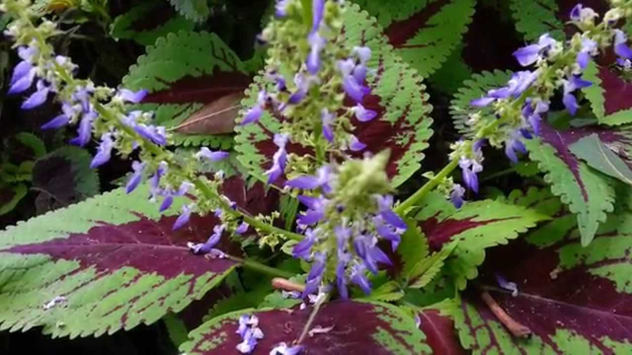 solenostemon hybrida flowers  trusty rusty coleus hd, Beautiful flower