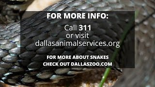 Snakes In Dallas