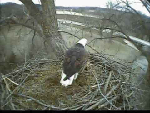 Bald eagle cam fish hatchery decorah ia 12 02 09 8 25am for Iowa fish hatcheries