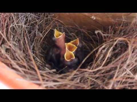 Oriental Magpie-Robin chicks