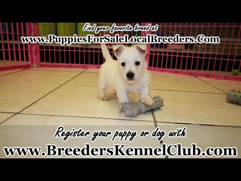 West Highland White Terrier, Puppies For Sale, In Knoxville, County, Tennessee, TN, 19Breeders