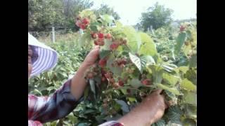 видео Выращивание баклажанов в домашних условиях