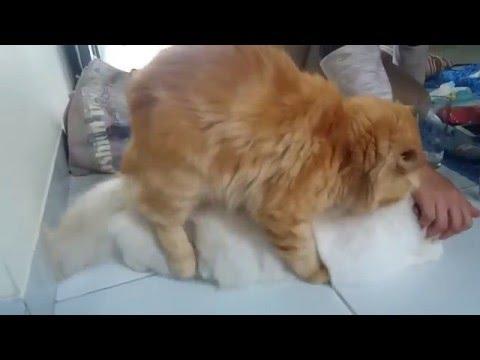 Ngintip Kucing Anggora Kawin