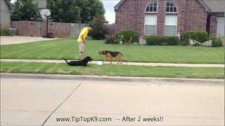 Tulsa Obedience Training - German Shepherd Mix After 2 Weeks