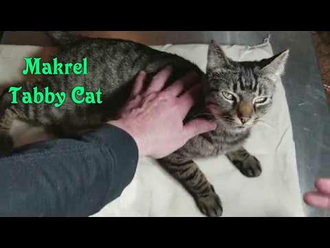 Short Hair Makrel Tabby Cat Review