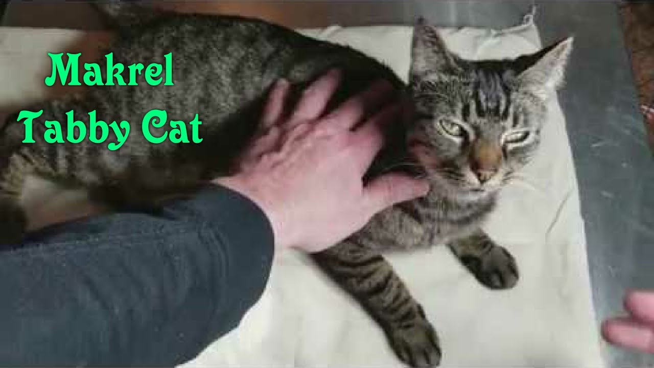 Short Hair Makrel Tabby Cat Review Youtube