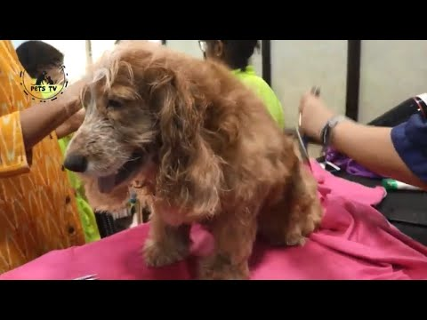 English Cocker Spaniel Dog Breed Grooming | Dogs in Action | Pets TV
