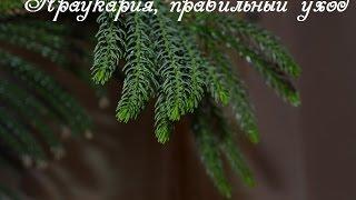 Араукария правильный уход(Араукария или южно американская сосна очень требовательна к влажности воздуха. Если воздух становится..., 2016-01-19T13:43:39.000Z)