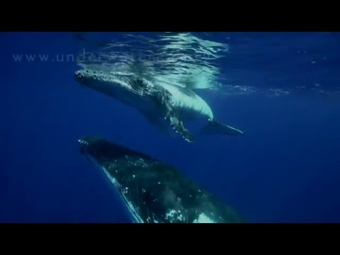 Relaxing moments with singing whales, video and music and original whale songs