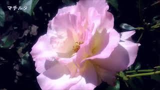 文化園の65種類の薔薇 撮影は茶屋萬衛門。 曲はバリオスのワルツ3番、4...