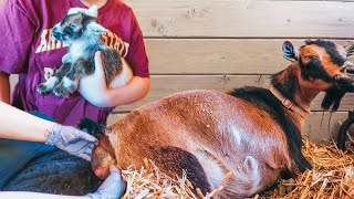 Will she REJECT her newborn babies? 😬 (miniature goat birth & delivery)