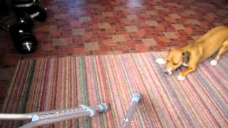 Savior (beagle/dachshund) Attacks Crutches