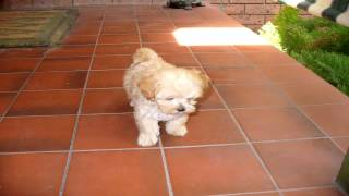 Hi, this is Cindy.  Cindy is a toy Maltese/Shih Tzu cross.   chihuahua puppies for sale