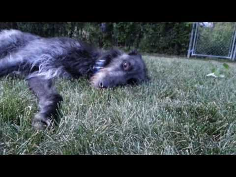 scottish-deerhound-being-obedient....
