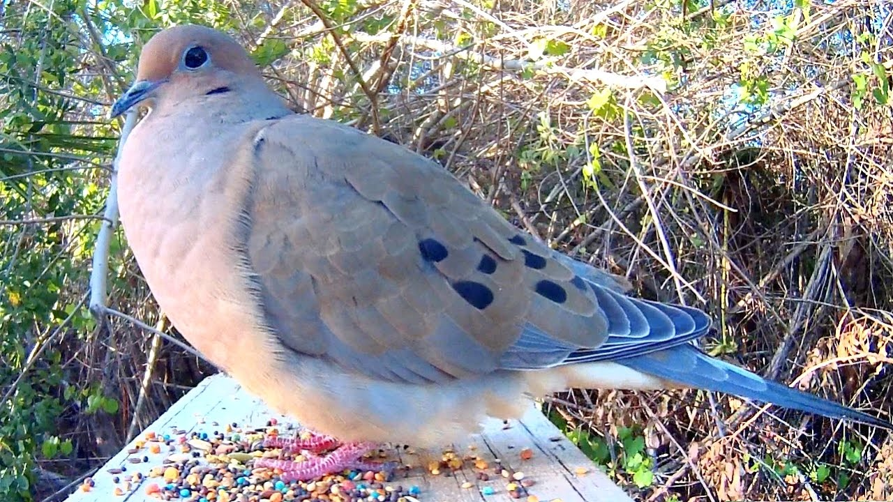 Mourning Dove Song Coo Call Sounds Amazing CloseUp YouTube