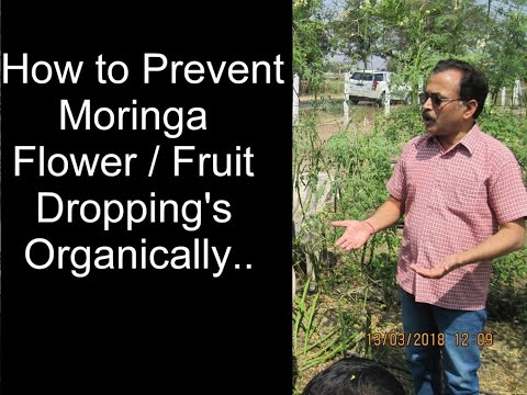 How to prevent Moringa flower/fruit droppings Organically..