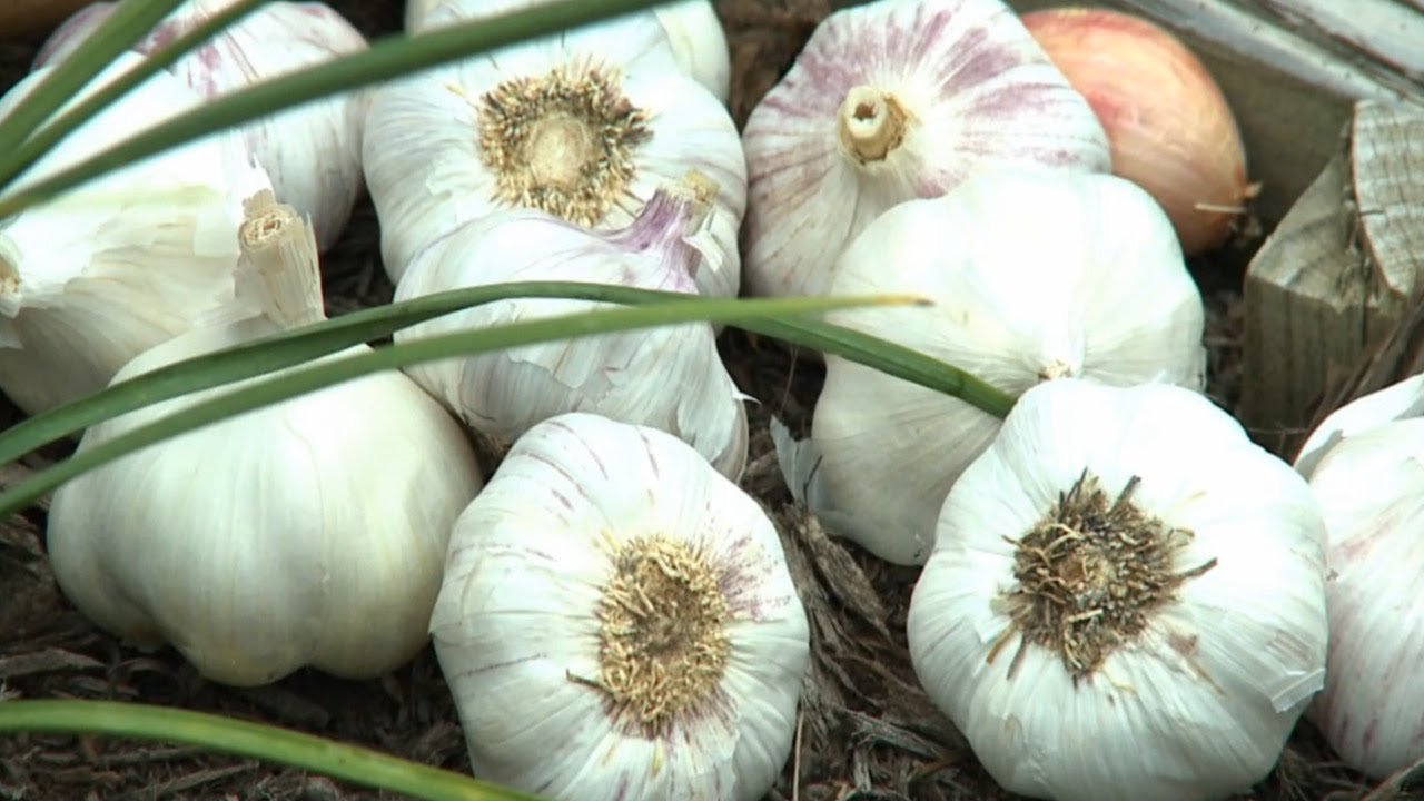 Cultivating garlic: varieties with a description, choice, features of cultivation