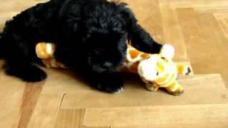 Sznaucer Miniaturowy  Schnauzer Miniature  Puppies