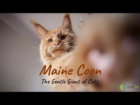 Maine Coon The Gentle Giant of Cats