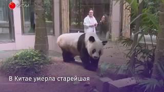 Более 100 лет по человеческим меркам: в Китае умерла старейшая панда