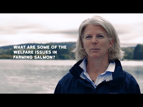 What are some of the welfare issues in farming salmon?