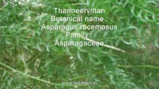 Herbal Medicine - Asparagus Racemosus - Natural Remedy For Leucorrhoea