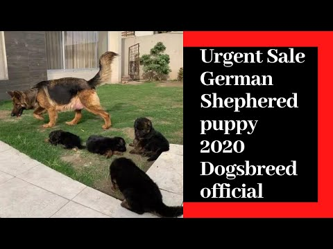 german-shepherd-|-german-shepherd-for-sale-in-good-price-by-dogsbreedofficial-2020