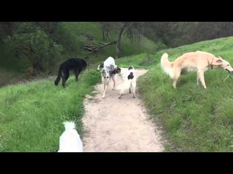 February Hound Hike - 1 borzoi, 10 silken windhounds