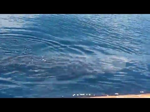 tiburon ballena -puerto de matarani