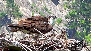 July 6, 2020 South Okanagan   Tesla, Osoyoos Lake Oxbows, Osprey on Nest with chicks, Haynes Point