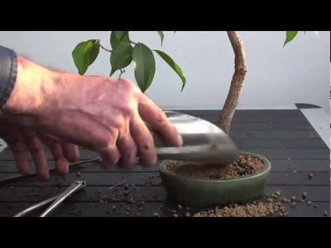 bonsai umtopfen forsythia wurzelschnitt doovi. Black Bedroom Furniture Sets. Home Design Ideas