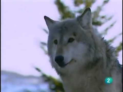 El mejor documental de lobos