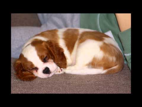 The cutest puppy ever: Lara the gorgeous Cavalier King Charles Spaniel and her little boy