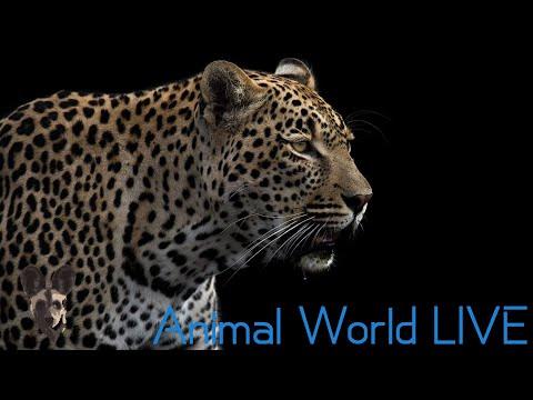 Animal World LIVE With Brent Leo Smith | Tristan Dicks - Hosanna The Leopard's Birthday