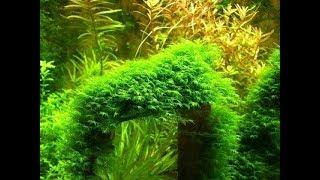 Мох феникс,неприхотливый мох для креветочника и акваскейпа