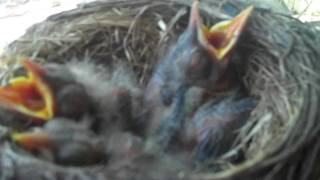 Baby Backyard Robins . . . birds in the nest and grown up out of the nest . . .