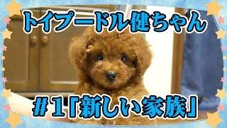 2015年5月24日生まれのトイプードルの男の子、健(けん)ちゃんです。 ...