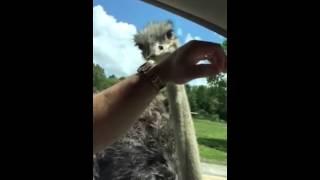 Avestruz engraçado Funny Ostrich