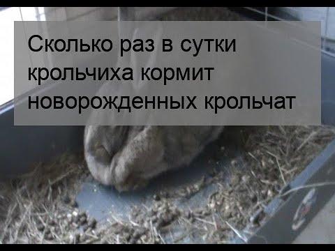 Сколько раз в сутки крольчиха кормит новорожденных крольчат