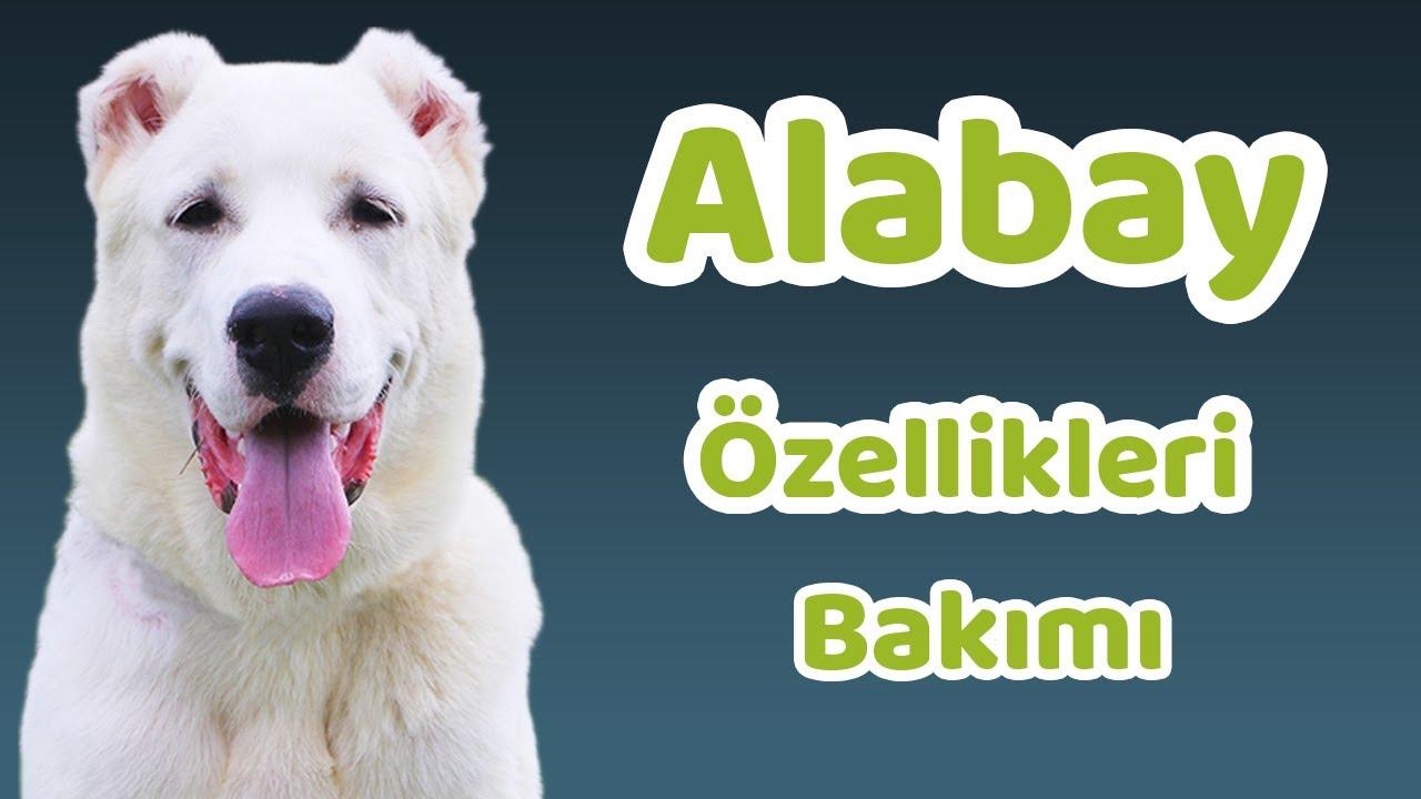 Alabai: cins özellikleri
