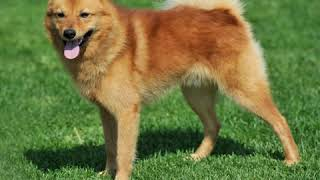 Finnish Spitz  Dog Breed  Pet Friend