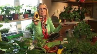 Cад.  Серия 153.  Посев семян подсолнечника на рассаду.  Выбираем саженцы гортензии метельчатой.