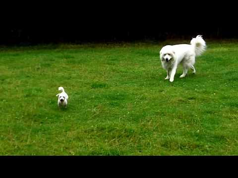Pyrenean  Mountain Dog Bear who lives in Devon loving  Bichon Peppa.