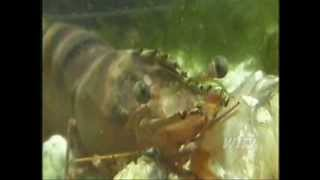 Giant cannibal shrimp asian tiger are invading the coasts of America en masse
