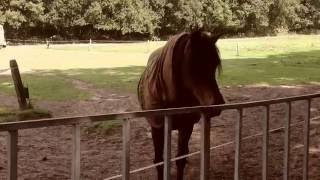 RINEL VAN VENROOIJ  HORSES IN THE MEADOW