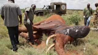 Saving a life - In the field treatment of elephant targeted by poachers