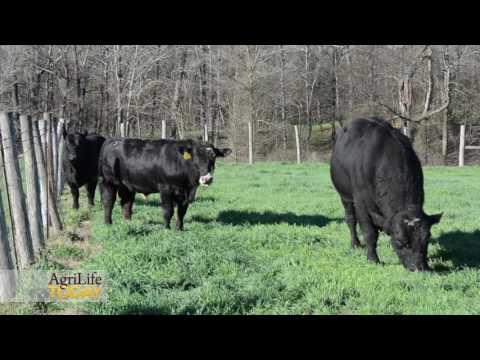 Bull Management Is A Key To Successful Breeding Seasons