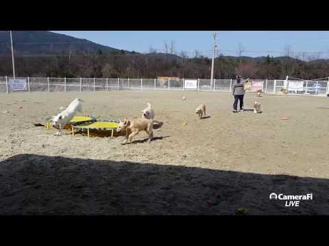 [Korea Dog TV live] 대형견 가족의 일상+초순이  #설악펍하우스 #속초애견호텔