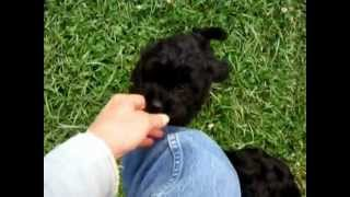 Shih Poo Puppies For Sale (mini Poodle / Shih Tzu)